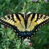 Eastern Tiger Swallowtail (Papilio glaucus)<br /> Female<br /> Front Royal, Virginia, USA