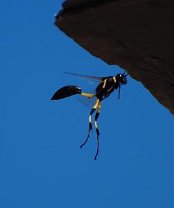 Thread-wasted Wasp