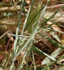 Nosed Grasshopper(Acrida hungarica) 1