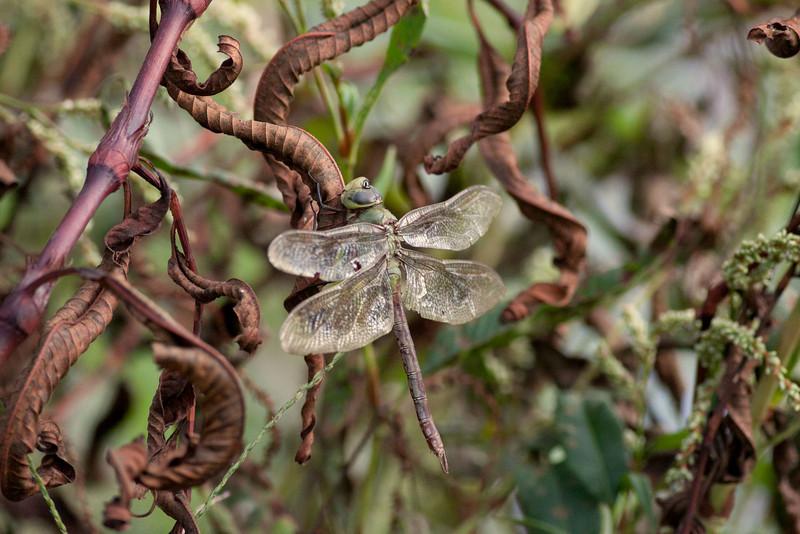 Female Common Green Darner<br /> Anax junius