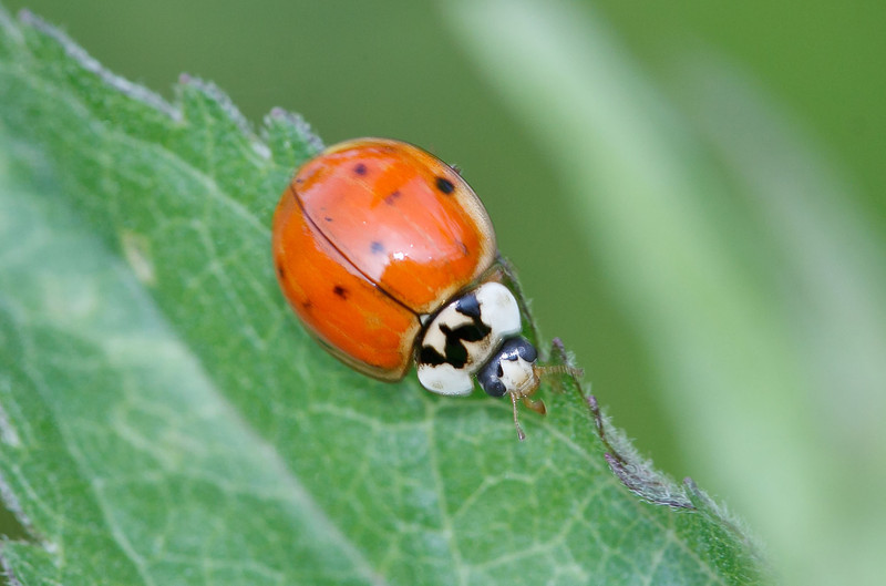 Harmonia axyridis  Multicolored Asian lady beetle