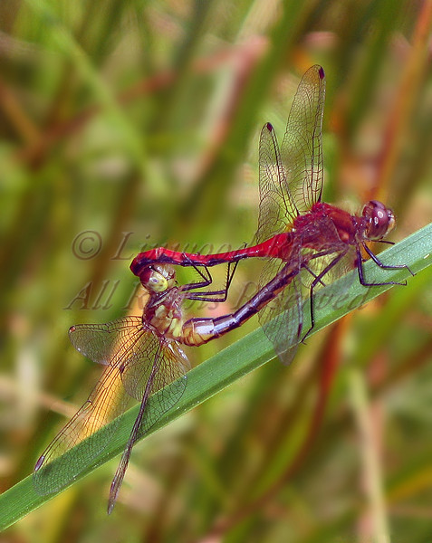 Two dragonflies on a blade of grass.