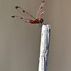Dragonfly @ OSU Chadwick Arboretum - August 2010