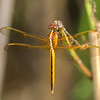Dragonfly @ Back Bay NWR/False Cape SP, VA - Aug 2014