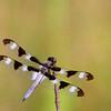 Twelve-spotted Skimmer @ Highbanks MP - July 2010