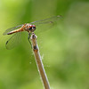 Dragonfly @ Magee Marsh - May 2012