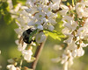 Bumble Bee @ Cooper Hollow WA - April 2010