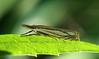Grass Veneer Moth @ Highbanks MP, June 2010