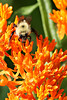 Bee on Butterfly Weed @ Highbanks MP, June 2010