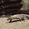 Komodo dragon (Varanus komodoensis), also known as the Komodo monitor at the Indonesian islands of Komodo, Rinca, Flores, Gili Motang, and Padar. A member of the monitor lizard family Varanidae, it is the largest living species of lizard.