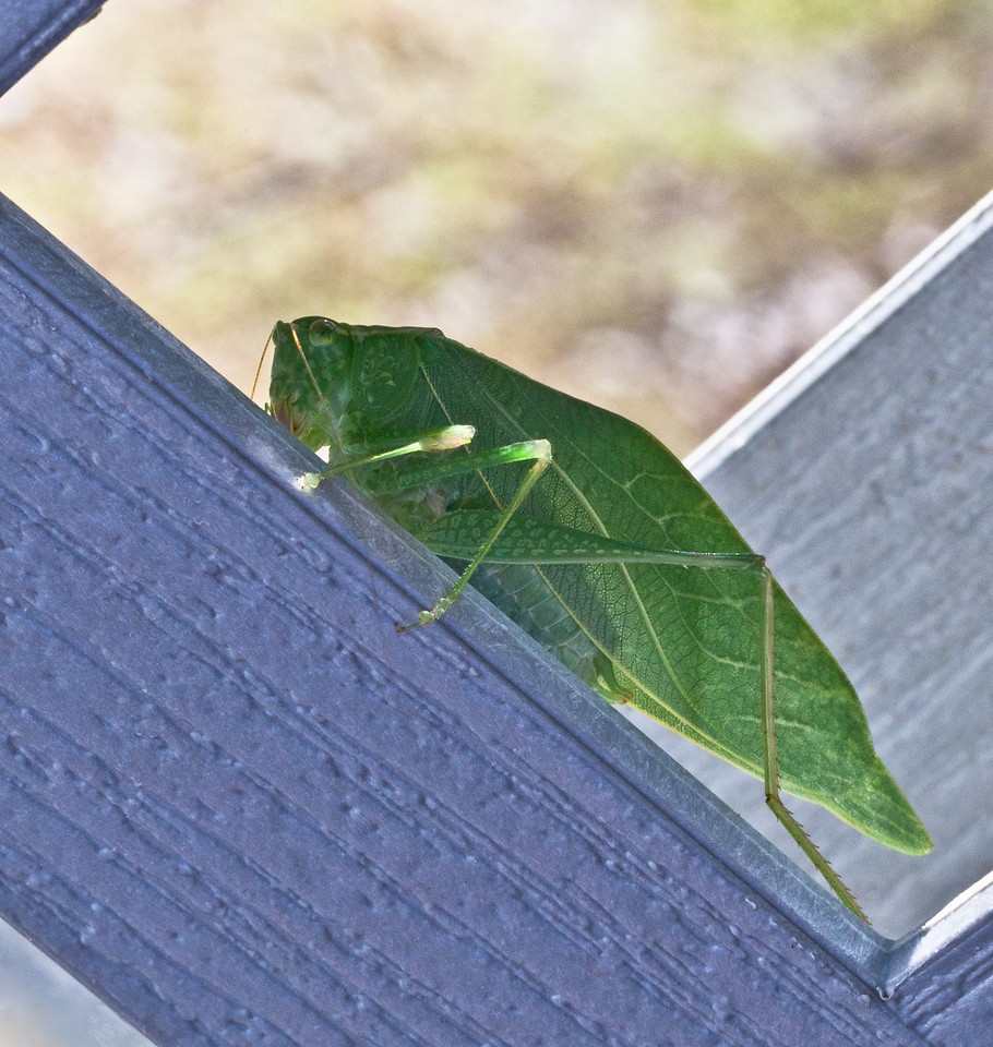 August 4, 2011- A True Katydid - Pterophylla camellifolia. Found this guy on the lattice which is part of my deck. He was hiding in between two pieces of lattice work. Posting very late today. (216:365)