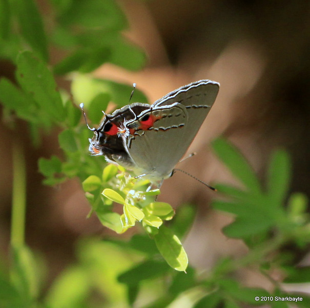 Gray HairStreak Skipper