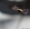 April 8, 2011-This large Eastern Carpenter bee and company have set up house on the ramp, right outside my door. Whenever I come out there they hover on either side of me and then start to chase each other and sometimes me off the ramp. I have been trying to capture them but the minute I focus on them they fly off. Not today! (Day 98:365 @sharkbayte)