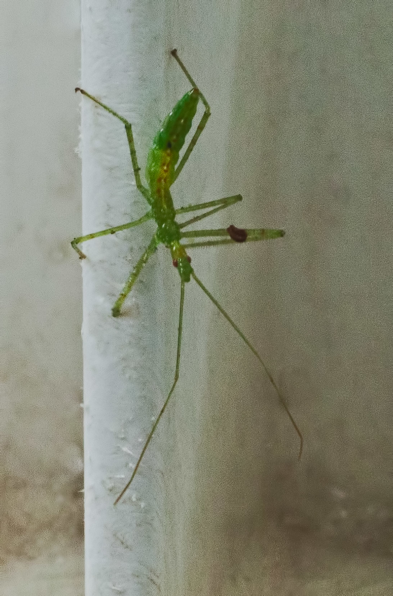 July 31, 2011-Found this ambush nymph on the gate to my ramp. I nearly crushed him with my fingers, as I was grabbing the gate.  (212:365)