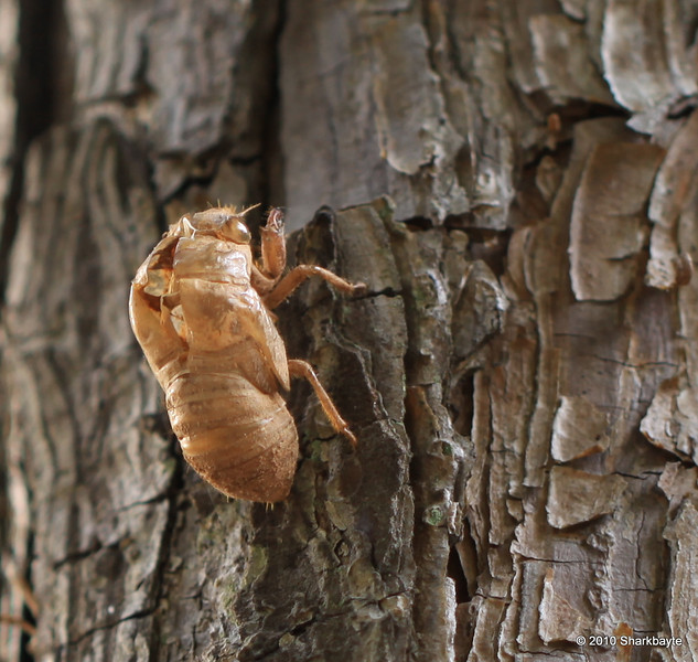 Immature Cicada nymph exoskeleton
