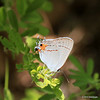 side view of the Gray Hairstreak Skipper
