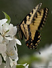 March 24, 2011-A fluttering butterfly. I was trying to capture the movement or fluttering of the wings on the swallowtail. Not crazy about the results so I am going to try this again with different settings. Settings used were: 400mm f/5.6 1/250 sec ISO: 500  (Day 83:365 @sharkbayte)
