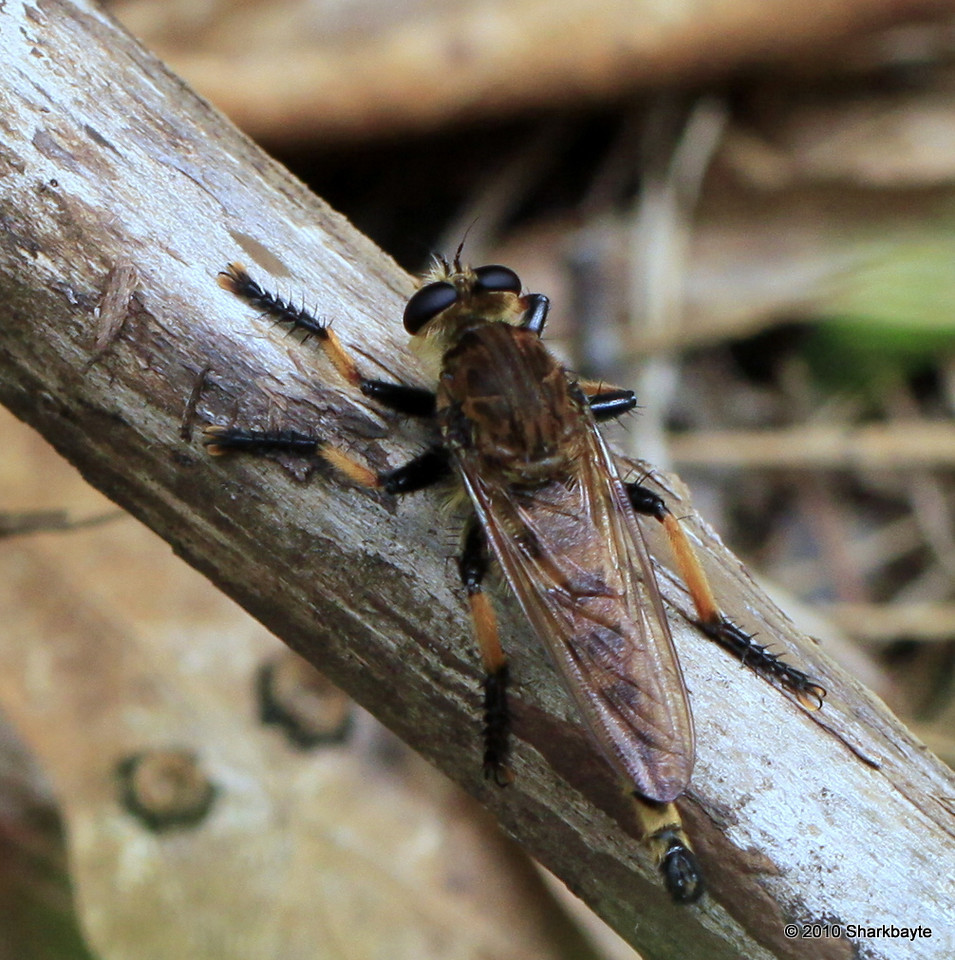 Robber fly that was sitting next to the alien looking exoskeleton.