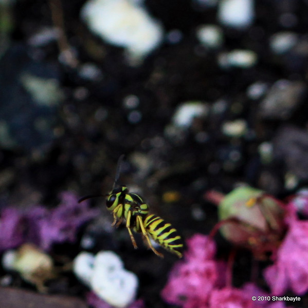 Day 186/365-Southern Yellow Jacket in flight. Caught him out of the corner of my eye as I turned and snapped this was all I got. Didn't see where he went he was so small. #356Project settings: 100.0mm f/2.8 1/250s ISO: 400 @sharkbayte