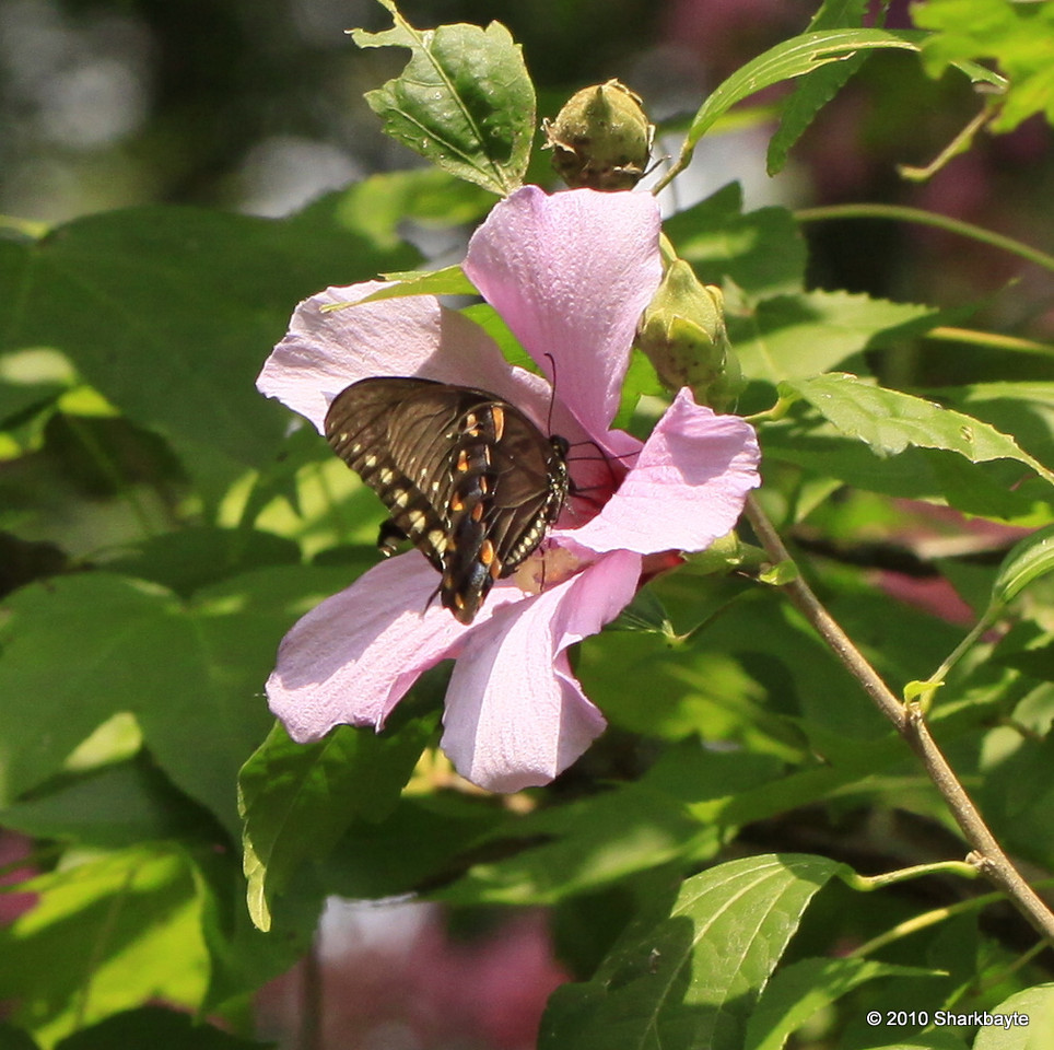 Swallow tail doing it's job with the Rose of Sharon.