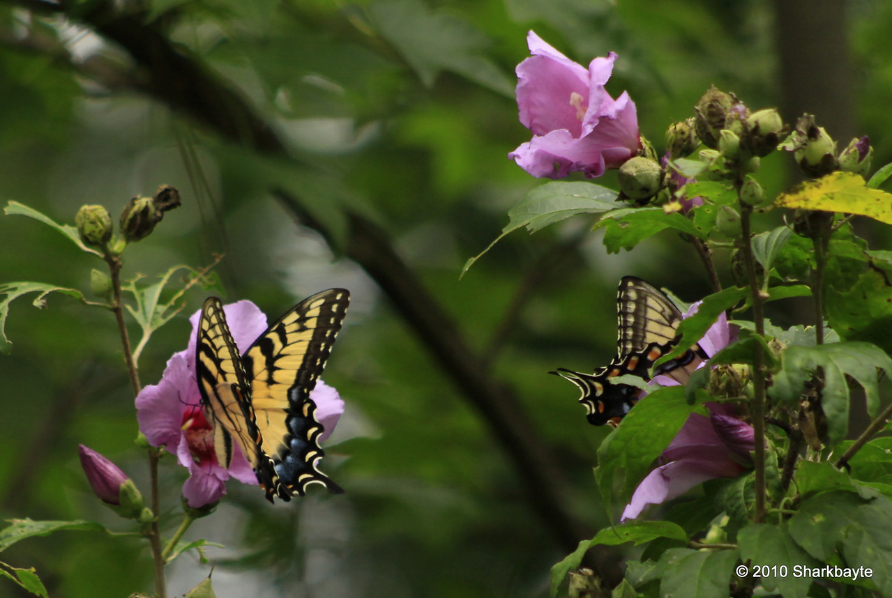 Day 213/365 - Found these two Eastern Tiger Swallowtail (Papilio glaucus). Helping themselves to the Rose of Sharon.  I just wish I had my 100.0mm for these guys. (reminder never leave home without it!) #365Project Settings: 170.0mm f/5.0 1/250s ISO: 200