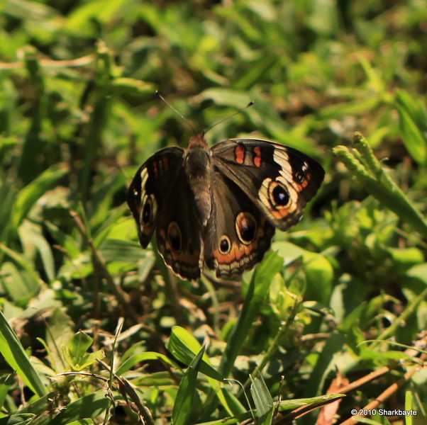 Common Buckeye Junonia coenia Hübner, [1822] Brush-footed Butterflies (Nymphalidae) second picture of the day today (2010.08.31) @sharkbayte