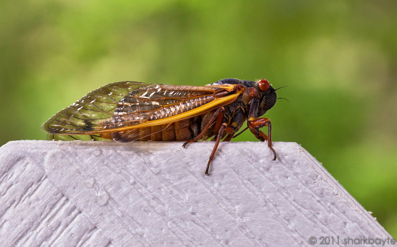 May 04, 2011-A cicada, same group as yesterday's picture a little more details. This is the Diceroprocta apache species. The red eyes are the giveaway. They produce the loudest sounds in the insect world recorded at over 100 decibels and it's the males that make the noise to call the females. The adult male cicada possesses two ribbed membranes one on each side of its first abdominal segment. By contracting and releasing the membranes a sound is made. There is more to it, but I won't give a biology lesson. They also make these sounds in defense. (Day 124:365 @sharkbayte)