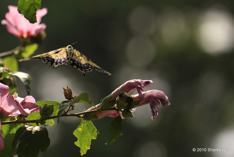 An Eastern tiger swallowtail in flight