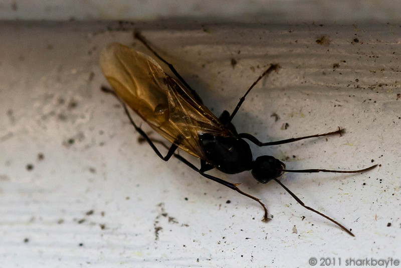 April 18, 2011- This is a Carpenter Ant, genus Camponotus. Found him on the side of the house eating some type of vegetation. They don't eat wood, they only nest in it. (Day 108:365 @sharkbayte)