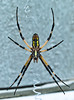 July 19, 2011-This is the ventral view of a Black and Yellow Argiope - argiope aurantia. They are also called Golden Orb weavers, Writing Spiders or Garden Spiders. My neighbor called me to come grab a shot of it. She wanted me to see the top of it or rather it's dorsal side. So, she moved the web, the spider ran/jumped down and I was out of there. Nothing really phases me or scares me but put a spider in my personal space and my heart stops, my throat seems to clamp shut and when I get my voice back, my voice goes ultra soprano, my wheelchair can't move fast enough and I need to change my shorts. That was the end of my day outdoors, thank you very much. What did my neighbor do? She laughed the entire time!! On the ground, rolling around laughing! That's okay, wait until she sees a snake in the yard... (200:365)