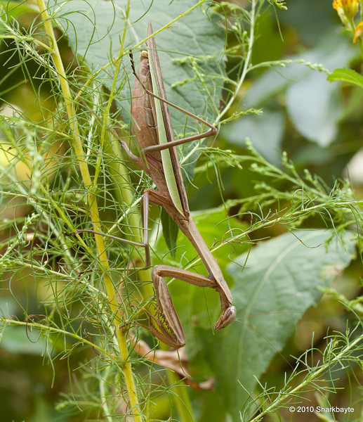 Full side view of the Chinese Mantid- Tenodera aridifolia sinensis. This speices is popular as pets and for use in gardens. (2010.09.25) @sharkbayte