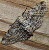 February 24, 2011-This is a Brown-shaded Gray Moth - Hodges #6586. He was on the rail to my ramp. He was in an awkward spot for me to shoot him. With the macro lens I was up very close but given I was on the ramp, there wasn't room to move comfortably to get a better shot. (Day 55 #365project @sharkbayte)
