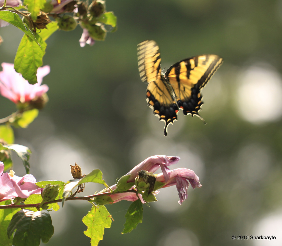 Eastern tiger swallowtail coming in for a landing.