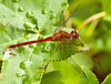 August 2, 2011-I believe, this skimmer is a Cardinal Meadowhawk (Sympetrum illotum). This is the first time I have seen one of these. (214:365)