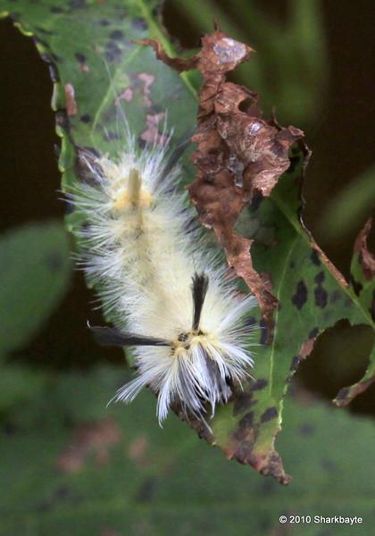 Pale Tussock Moth