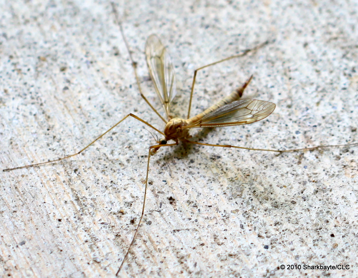 Crane Fly. I can see where a tripod would have been a wonderful thing to use on this shot.