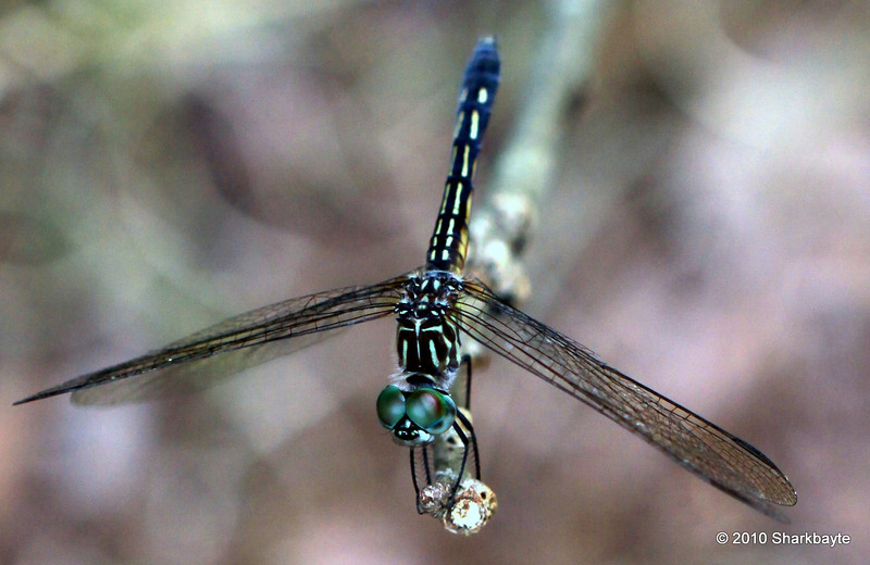 Dragon Fly 1