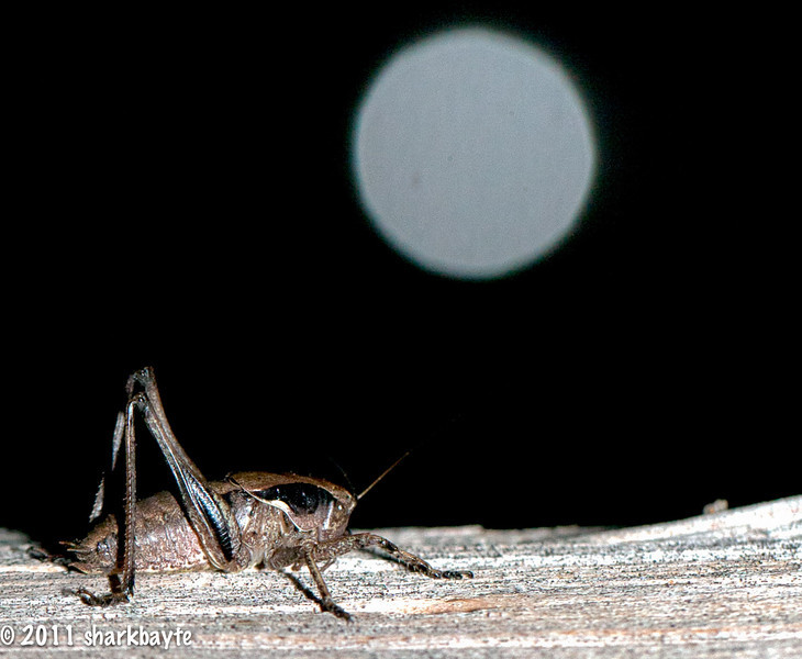 "May 21, 2011-""By the light, of the silvery moon""...another night time shot, this time of a cricket. Okay and that is not the moon but a light reflected of a car tail light from my flash. Just a goofy shot for today. Thanks for all the comments on my toad shot yesterday. I was lucky I was off their nest in time as I saw how big it was today in the daylight. (still scratching...) Day 141:365 @sharkbayte"