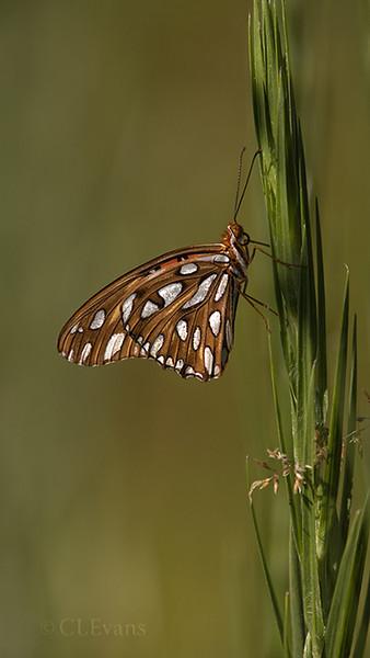 Gulf Fritillary / Silkgrass (Largo)