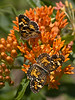 Phaon Crescent Butterflies on Butterfly Weed (Ocala National Forest)