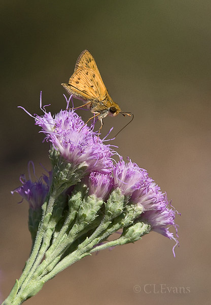 Fiery Skipper on Florida Paintbrush