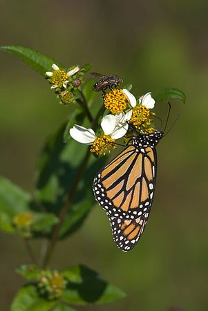 Monarch Butterfly and Fly (Tachinid?) on Spanish Needles (bidens alba)<br /> (Largo)