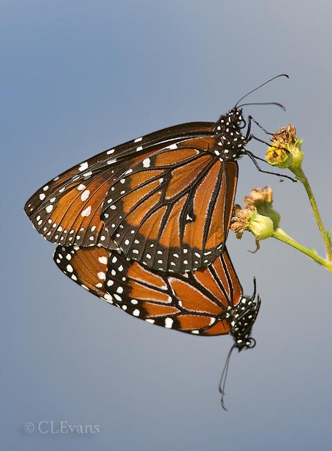Queen Butterflies Mating (Loxahatchee)