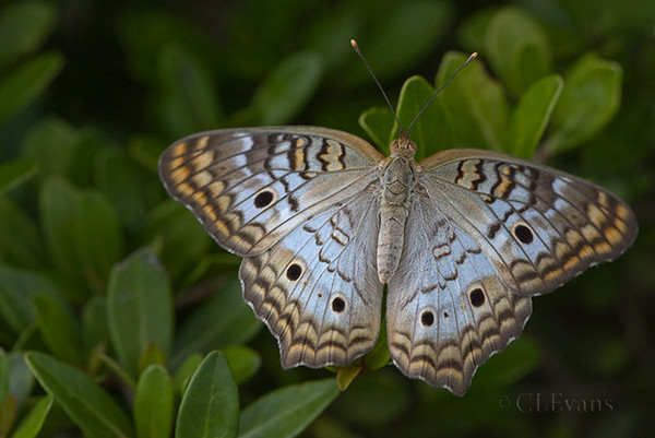 White Peacock Butterfly (Largo)