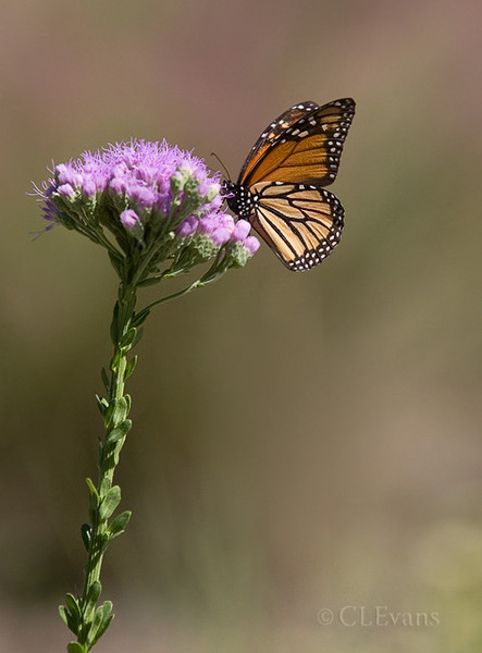 Monarch on Florida Paintbrush (Largo)