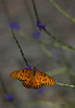 Gulf Fritillary Butterfly on Porterweed (Largo)
