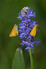 Two Delaware Skipper Butterflies on Pickerelweed (Kissimmee Prairie Preserve)