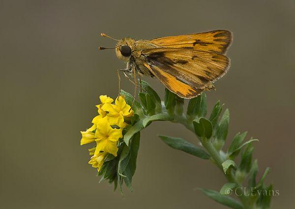 Fiery (?) Skipper Butterfly on Pineland Heliotrope (Largo)