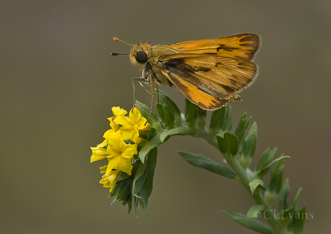 Fiery (?) Skipper Butterfly on Pineland Heliotrope (Largo)