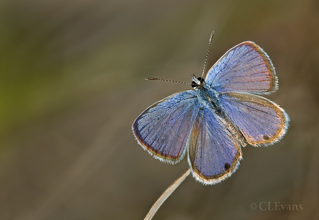 Ceraunus Blue Butterfly - male (Largo)